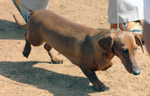 Dachshund Breed Dog - Public Domain Pictures
