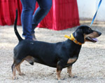 Dachshund Cute Small Dog - Public Domain Pictures