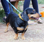 Dachshund Dog Breeds - Public Domain Pictures