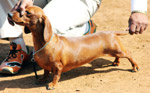 Dachshund - Public Domain Pictures