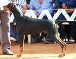 Doberman Pinscher - Public Domain Pictures