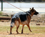 German Shepherd Leash - Public Domain Pictures