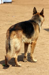 German Shepherd Looking Away - Public Domain Pictures