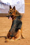 German Shepherd Looking Back - Public Domain Pictures