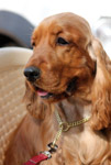 Golden American Cocker Spaniel - Public Domain Pictures