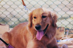 Golden Retriever - Public Domain Pictures