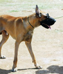 3184-great-dane - Public Domain Pictures