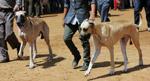 Great Dane Dogs - Public Domain Pictures