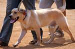 Labrador Cream Golden - Public Domain Pictures