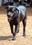 Labrador Dog - Public Domain Pictures