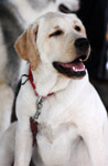 Labrador White Dog - Public Domain Pictures