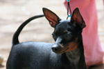Min Pin Dog - Public Domain Pictures