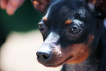 Min Pin Face Closeup - Public Domain Pictures
