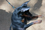 Min Pin Standing On Two Legs - Public Domain Pictures