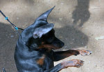 Min Pin Standing - Public Domain Pictures