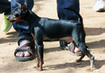 Min Pin - Public Domain Pictures