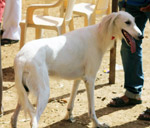 Mudhol Hound - Public Domain Pictures