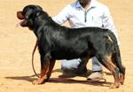 Rottweiler - Public Domain Pictures