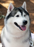 Siberian Husky Beautiful - Public Domain Pictures