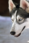 Siberian Husky Breed Dog - Public Domain Pictures