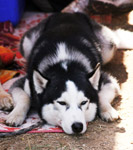 Siberian Husky Sleeping Ground - Public Domain Pictures
