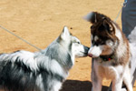 Siberian Husky Two Of Them - Public Domain Pictures