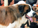 St Bernard Dog - Public Domain Pictures