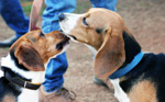 Two Beagles Playing - Public Domain Pictures