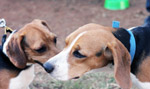 Two Beagles Sitting - Public Domain Pictures