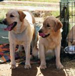Two Cute Labradors - Public Domain Pictures