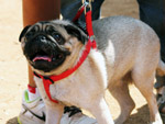 White Pug - Public Domain Pictures