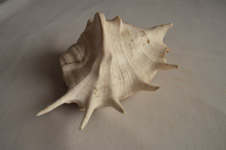 327-conch-shell-big - Public Domain Pictures