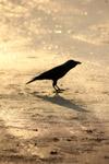 Crow Ground - Public Domain Pictures