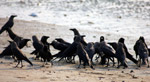 Crow Meeting Group - Public Domain Pictures