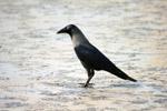 Crow - Public Domain Pictures