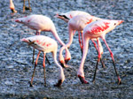 Flamingo Birds 2 - Public Domain Pictures