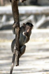 Monkey Hanging From Branch - Public Domain Pictures