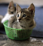 3398-two-kittens-in-basket - Public Domain Pictures