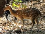 Deer - Public Domain Pictures