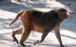 Fat Monkey Walking - Public Domain Pictures