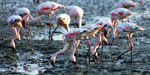 Flamingos Sewri India - Public Domain Pictures
