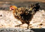 Hen Cock - Public Domain Pictures