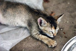 Kitten Sleepy - Public Domain Pictures
