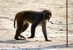 Monkey Leash - Public Domain Pictures