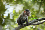 Monkey Looking Down Branch Sitting - Public Domain Pictures