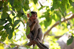 Monkey Thinking Branch 2 - Public Domain Pictures