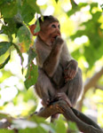 Monkey Thinking Branch - Public Domain Pictures