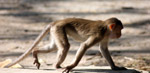 Monkey Walking 2 - Public Domain Pictures