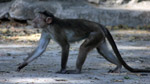 Monkey Walking - Public Domain Pictures