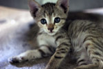 Striped Kitten - Public Domain Pictures